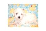 Picture of a Coton De Tulear Puppy
