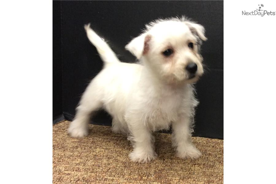 west highland terrier for sale near me west highland white terrier westie puppy for sale near 8589