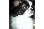 Pekingese Puppies for Sale from Reputable Dog Breeders