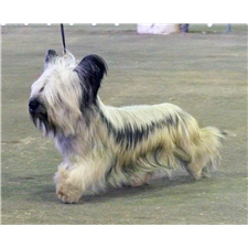View full profile for Solana Skye Terriers & Anatolian Shepherd Dogs