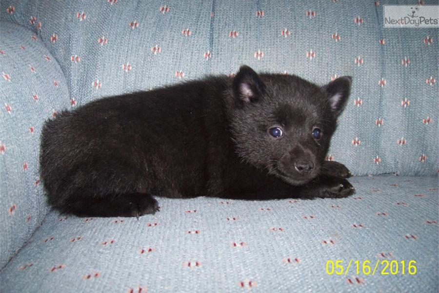 Yogi Schipperke Puppy For Sale Near Dubuque Iowa A2868616 Ff11