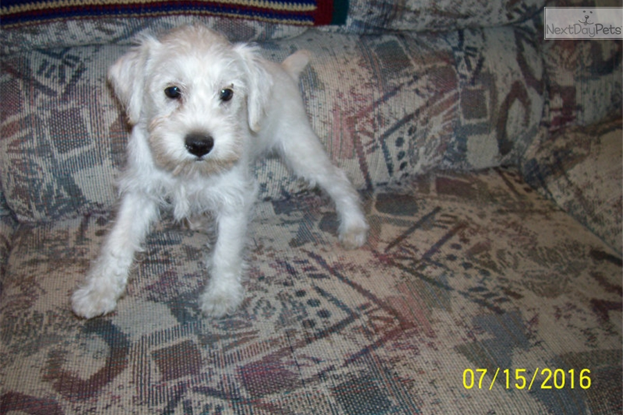 Snowy Schnauzer Miniature Puppy For Sale Near Dubuque Iowa