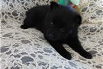 Picture of ADORABLE FEMALE SCHIPPERKE PUPPY