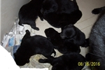 Picture of a Schipperke Puppy