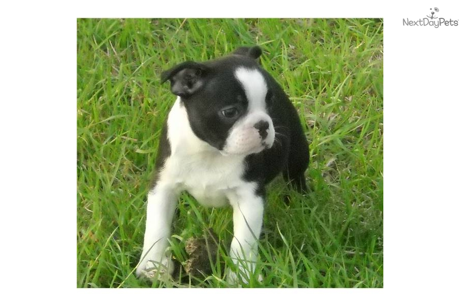 boston terrier texas boston terrier puppy for sale near texoma texas 3110