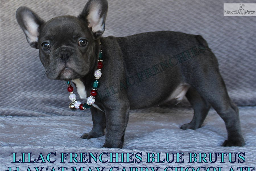 French Bulldog Puppies For Sale In The Inland Empire ...