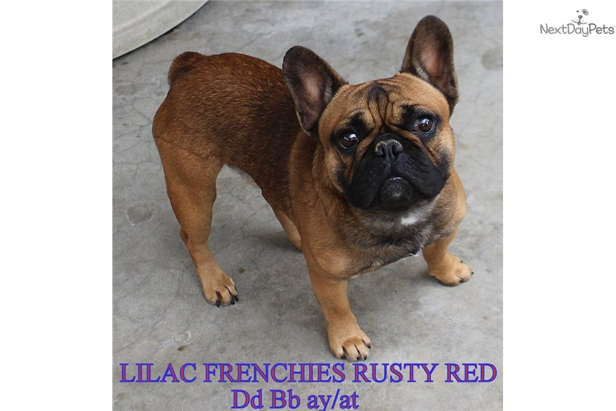 Blue Brutus: French Bulldog puppy for sale near Inland ...