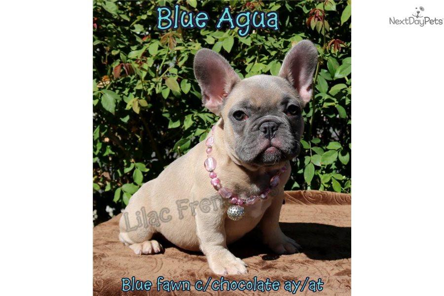 Blue Agua Dd Bb At French Bulldog Puppy For Sale Near