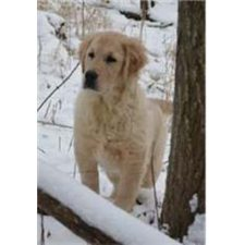 View full profile for Millennium Golden Retrievers