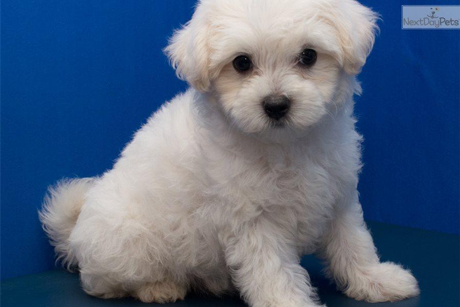 Malti Poo - Maltipoo puppy for sale near In Turkey