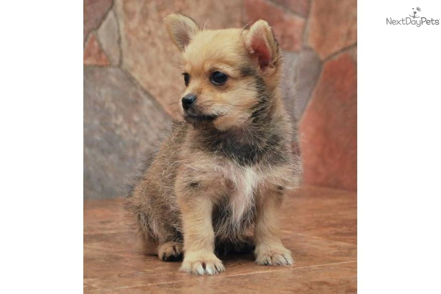 Meet 816 A Cute Chi Poo Chipoo Puppy For Sale For 350