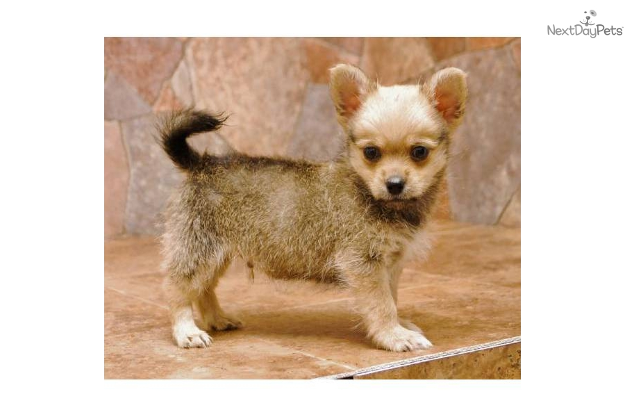 Meet 816 A Cute Chi Poo Chipoo Puppy For Sale For 350 Shihchi At