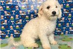 Picture of Bichpoo ID 1352