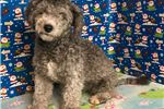 Picture of Bichpoo ID 1350