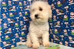 Picture of Bichshipoo ID 1353