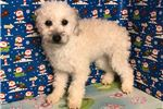 Picture of Bichpoo ID 1351