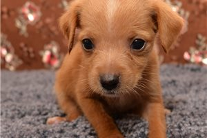 Picture of a Doxle Puppy