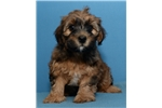 Picture of (Lots of testimonials) Malshipoo ID 1090
