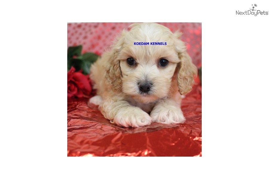 Fiona: Cockapoo puppy for sale near Sioux City, Iowa