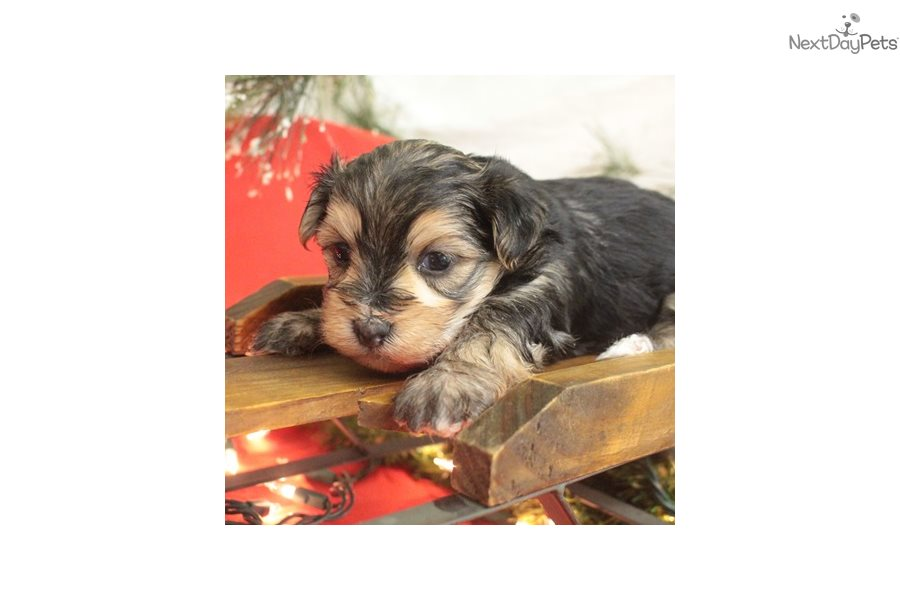 Morkie Puppies For Sale Iowa >> Kerri: Morkie / Yorktese puppy for sale near Sioux City, Iowa | 413e64f2-91b1