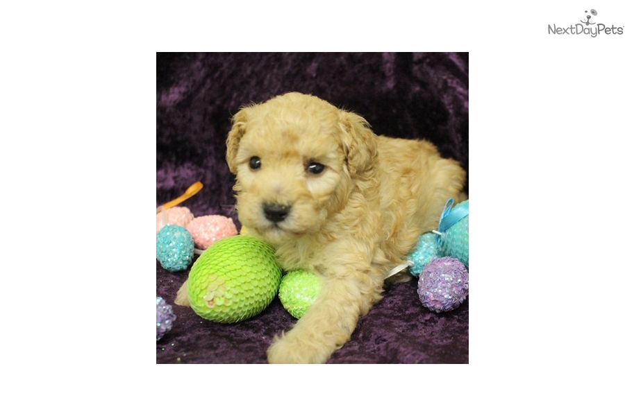 Kitty: Poodle, Miniature puppy for sale near Sioux City