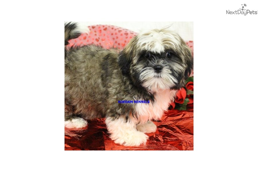 Cinderella: Shih Tzu puppy for sale near Sioux City, Iowa