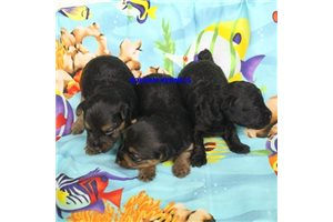 Kerri Litter | Puppy at 2 weeks of age for sale