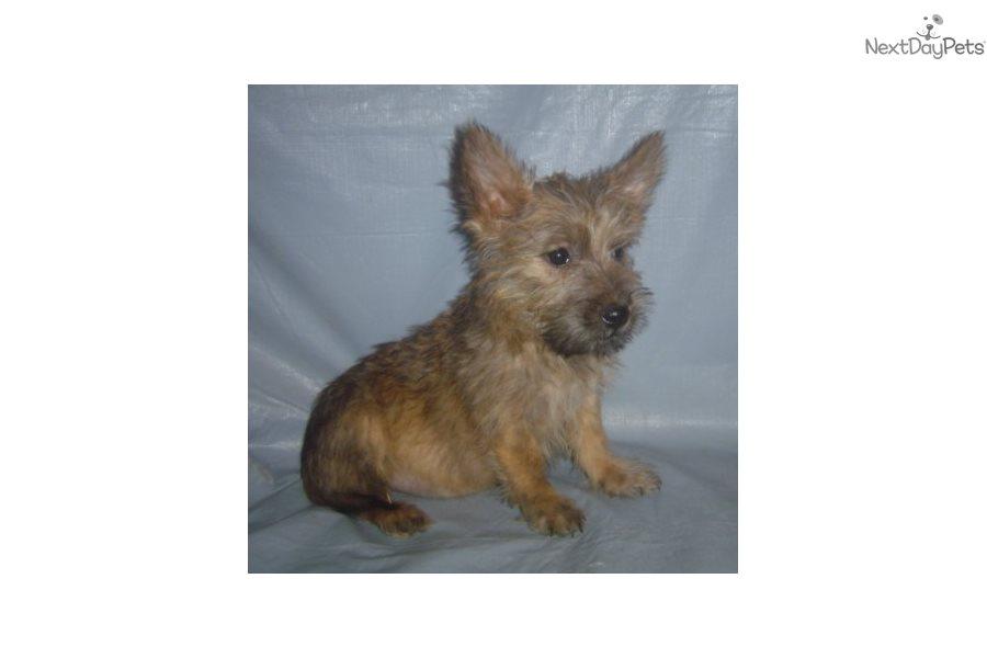 Cairn Terrier puppy for sale near Springfield, Missouri | b45fc9fd-6971