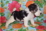 Picture of Wire Hair Fox Terrier Pups
