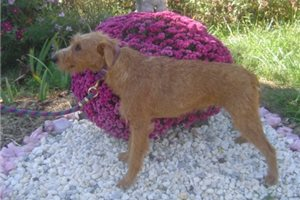 Irish Terriers for sale