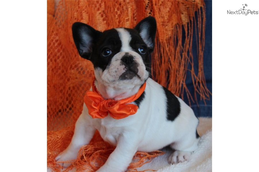 french bulldog st louis french bulldog puppy for sale near st louis missouri 6381