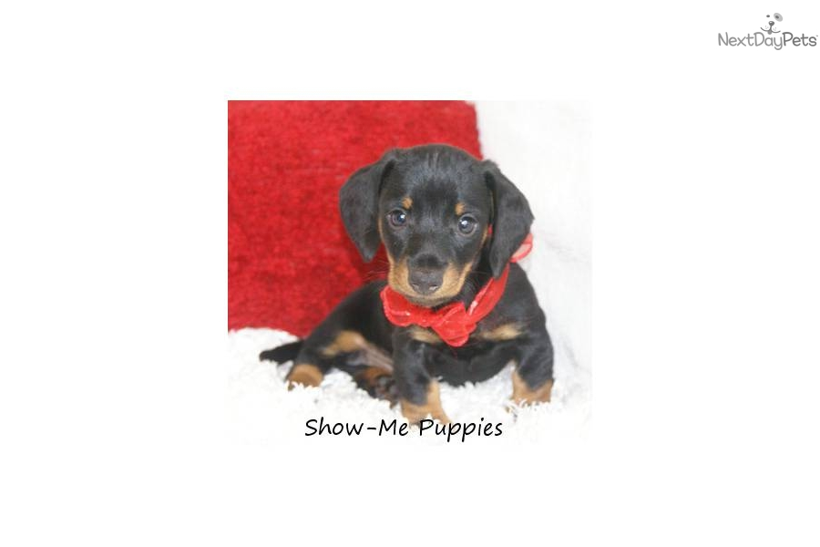For that Adult dachshunds groundhounds mini not our sale