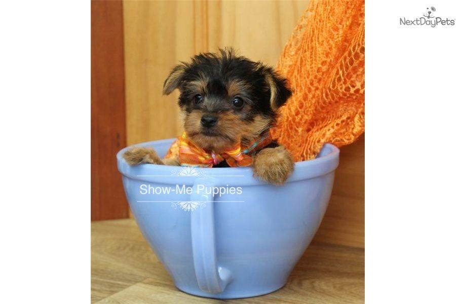 Dash: Morkie / Yorktese puppy for sale near St Louis Missouri USA