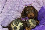 Picture of Umber Miniature Dachshund. Est 10# Adult