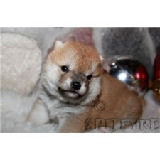 View full profile for Spitfyre Shiba's