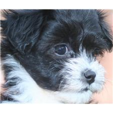 View full profile for Home Raised Havanese