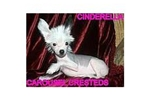 Featured Breeder of Chinese Cresteds with Puppies For Sale