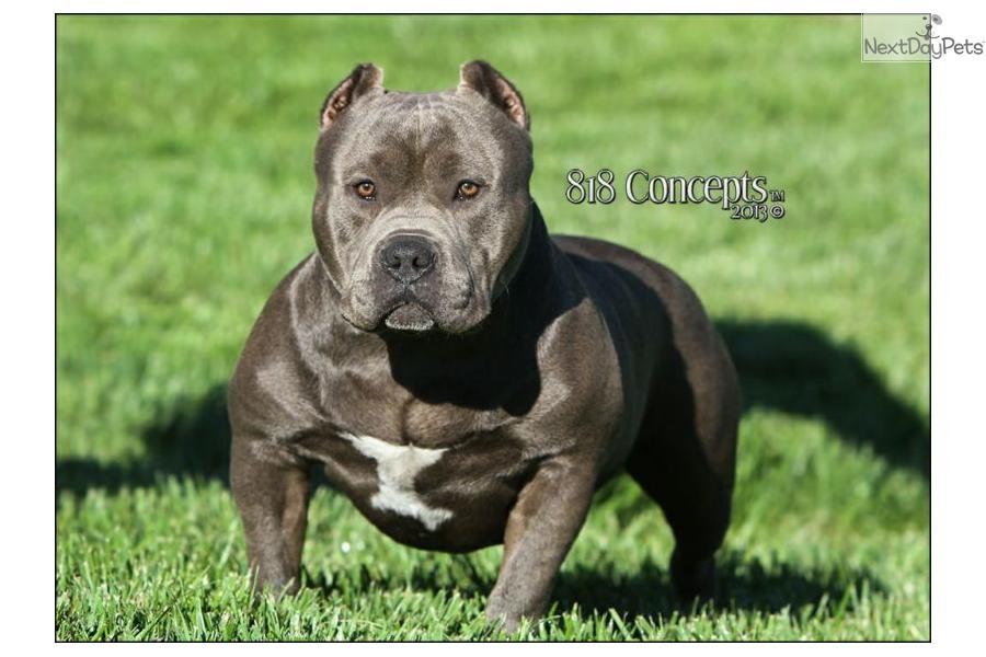 Direct Mr. Miagi Son: American Bully puppy for sale near Chico, California | 83b5a677-2cc1