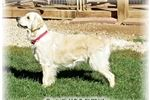 Picture of English Cream Goldens Males and Females Available