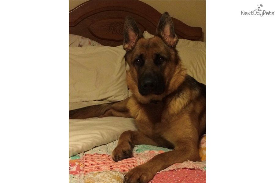 Apollo : German Shepherd puppy for sale near Hickory / Lenoir, North