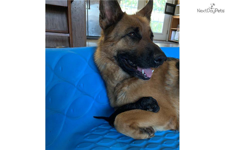 Adele: German Shepherd puppy for sale near Hickory / Lenoir