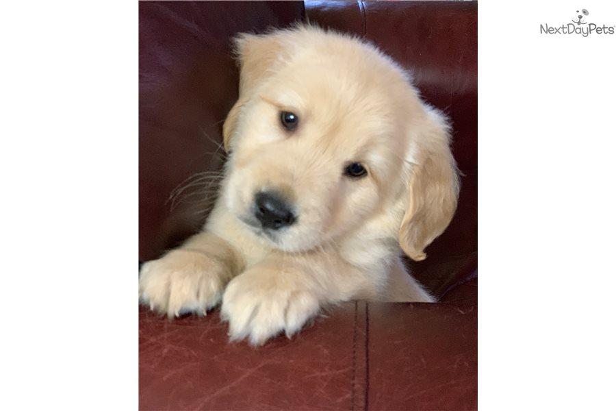 Golden Retriever Puppy For Sale Near Hickory Lenoir North