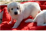 Picture of AKC Female Maizey