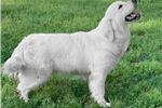 AKC English cream male pups due 2b born in August  | Puppy at Available soon of age for sale