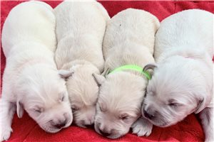 English Golden Retriever Puppies For Sale From Hickory Lenoir