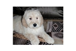 Picture of a Goldendoodle Puppy