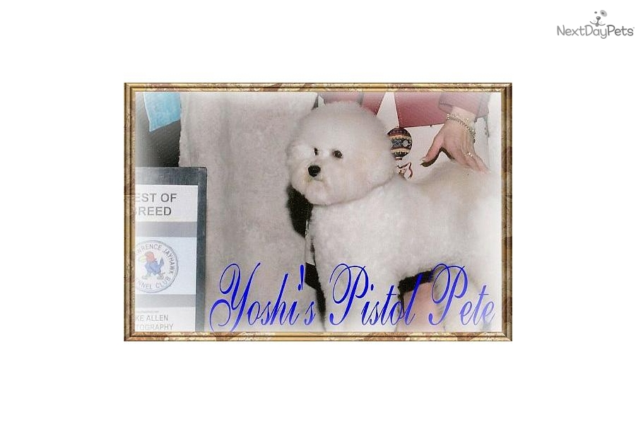 Puppies for Sale from Yoshi's Bichon Frises - Member since