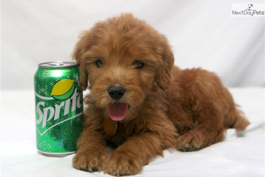 Minitoy Goldendoodl Goldendoodle Puppy For Sale Near Lafayette