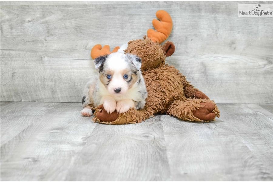 mini austin  australian shepherd puppy for sale near columbus  ohio