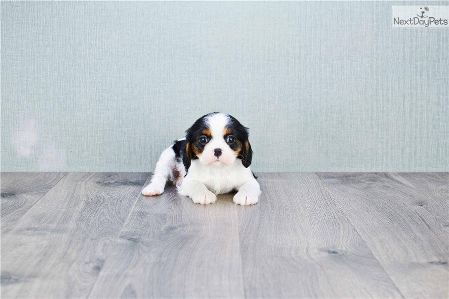 Princess: Cavalier King Charles Spaniel puppy for sale near